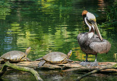 Pair Of Turtles And A Pelican Stock Photography
