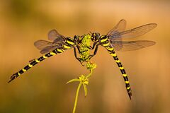 Free Pair Of Two Dragonflies Sitting Close To Each Other In Summer Stock Image - 178230441