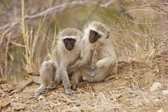 Pair Of Vervet Monkeys Stock Photography