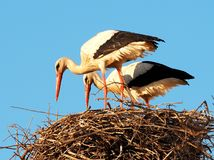 Pair Of White Storks Or Ciconia Ciconia Wih Nest Royalty Free Stock Photo