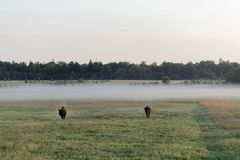Pair Of Wild European Bison Bulls Bison Bonasus On Meadow In The Bialowieza National Park In Poland. Stock Image