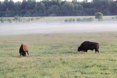 Pair Of Wild European Bison Bulls Bison Bonasus On Meadow In The Bialowieza National Park In Poland. Stock Photo