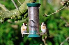Pair ofGoldfinch on a feeder. Royalty Free Stock Photography