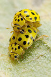 A pair ol 22-spot ladybirds Stock Photography