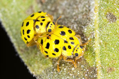 A pair ol 22-spot ladybirds stock images