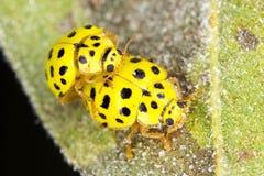 A pair ol 22-spot ladybirds Stock Images