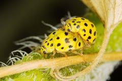 A pair ol 22-spot ladybirds Royalty Free Stock Photos