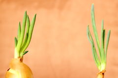 Growing onions Royalty Free Stock Photography