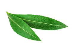 Pair of olive leaves Stock Image