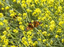 Pair of Orange Butterflies in Field of Yellow Mustard Flowers royalty free stock photos