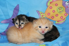 Pair orange and calico kittens Royalty Free Stock Photo
