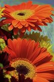 I love to give gerbera flowers to my favorite women Stock Images