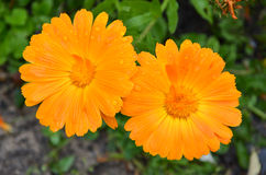 Pair of orange daisies Royalty Free Stock Photos