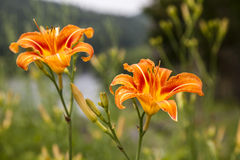 Pair of Orange Lillies Royalty Free Stock Images