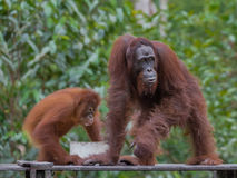 Pair of orangutans eat breakfast (Indonesia). Pair of orangutans eat breakfast on a wooden platform in the forests of Indonesia, from a white plastic bowls left royalty free stock photography
