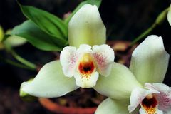 Pair of orchid flower. Wonderfull white orchid flower Stock Photo