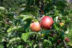 A pair of organic apples growing stock photography