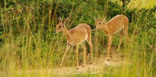 A pair of Oribi. Walk along a game trail among the grass of the Ugandan savanna royalty free stock photos