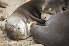 A pair of Oriental Short-Clawed Otters cuddling Royalty Free Stock Photography