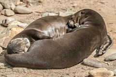 A pair of Oriental Short-Clawed Otters cuddling Royalty Free Stock Image