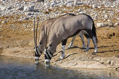 Pair of oryx drinking. Picture of two oryx drinking at a waterhole in Etosha Park, Namibia Royalty Free Stock Photos