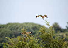 Pair of Osprey, Birds of Prey Stock Image