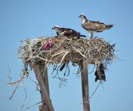 Pair of Osprey in the nest in Guerro Negro  in Baja California del Sur, Mexico Stock Photos