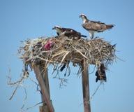Pair of Osprey in the nest in Guerro Negro  in Baja California del Sur, Mexico Stock Photos