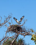 Osprey in nest Royalty Free Stock Image