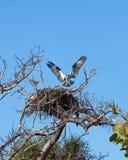 Osprey in nest Royalty Free Stock Image