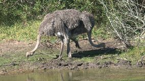 Pair of Ostriches foraging in the grass stock footage
