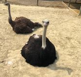 Pair of Ostriches stock image
