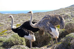 Pair of Ostriches, Tanzania Royalty Free Stock Images