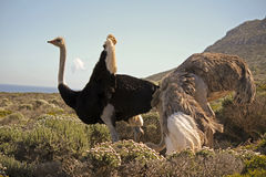 Pair of Ostriches, Tanzania stock photography