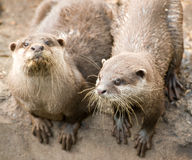 Pair of Otters Royalty Free Stock Photography