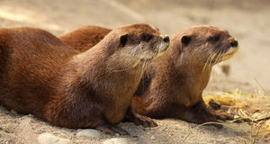 Pair Of Otters. A pair of African Clawless Otters Royalty Free Stock Photo