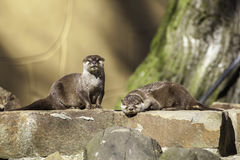 Pair of otters on a man-made riverbank weir wall Royalty Free Stock Photography