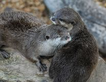 A pair of Otters. Nuzzling together on a log Stock Image