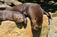 Pair of otters Royalty Free Stock Images