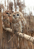 Pair of owls Stock Image