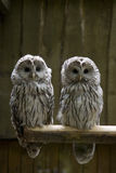 A pair of Owls Stock Image