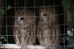 Pair of owls Scops owl in small private zoo. Animals in captivity. Pair of owls Scops owl in small private zoo, Freedom birds, bird in cage - animal protection Royalty Free Stock Photos
