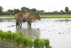 Pair of ox working in a paddy field Stock Photo