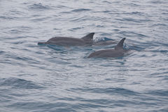 Pair of Pacific Spinner Dolphins Stock Photos