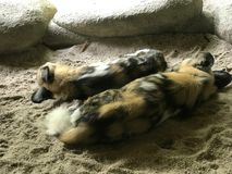Pair of painted dogs sleeping stock photography