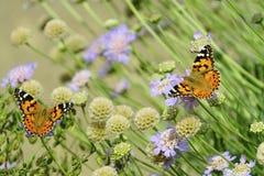 Pair of Painted Ladies. Butterflies Royalty Free Stock Photo