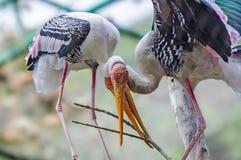 Pair of painted stork, Mycteria leucocephala Stock Photo