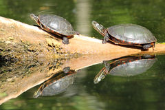 Pair of Painted Turtles  (Chrysemys picta). Basking on a Log - Old Ausable Channel,  Pinery Provincial Park, Ontario, Canada Stock Images