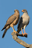 Pair of pale-chanting goshakws perching on a tree Stock Photo