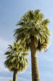 A pair of Palm Trees. And a blue sky in Arizona Stock Photography